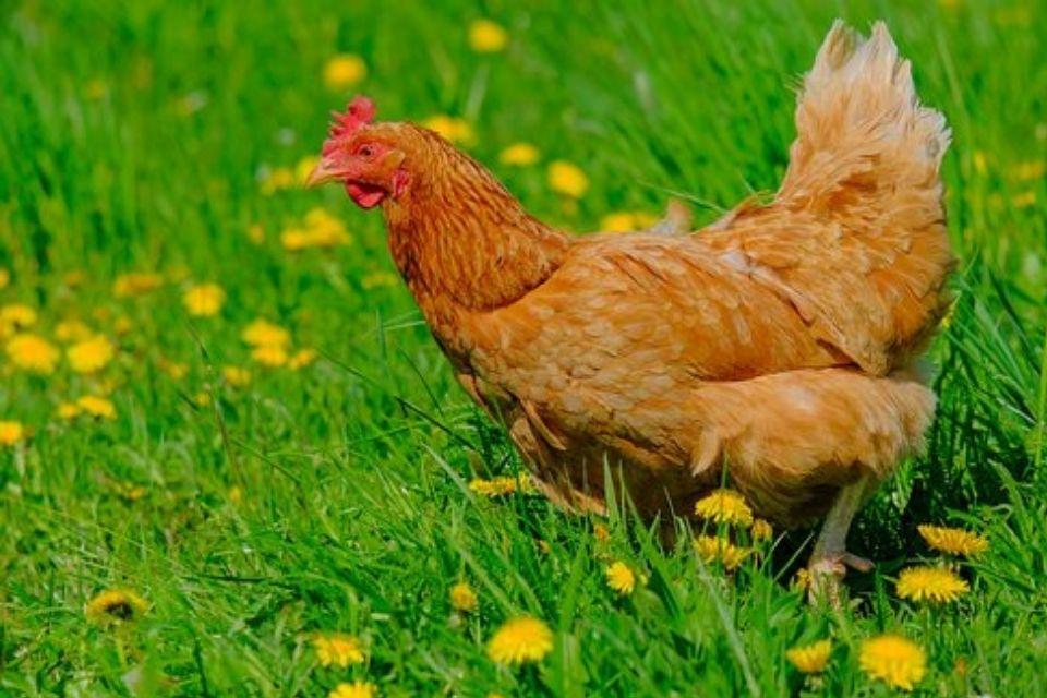 Een kip nadoen